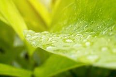 De bladeren van galangal geplant in de tuin tijdens de regen Stock Foto's