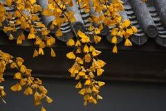 De bladeren van Gingkgo Royalty-vrije Stock Foto