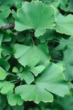 De bladeren van Gingko Stock Foto's