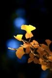 De Bladeren van Gingko Royalty-vrije Stock Afbeeldingen