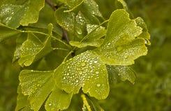 De bladeren van Gingobiloba Royalty-vrije Stock Fotografie