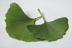 De bladeren van Ginkgo Royalty-vrije Stock Foto