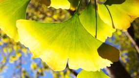 De bladeren van Ginkgo Stock Foto's