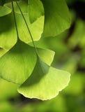 De bladeren van Ginkgo Stock Foto