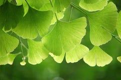 De bladeren van Ginkgo stock afbeeldingen