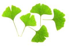 De bladeren van Ginkgo (biloba Ginkgo) Stock Afbeelding