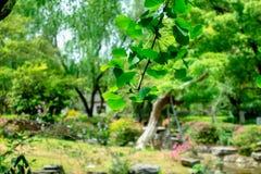 De bladeren van Ginkgo-biloba zijn in zon-Ginkgo biloba L royalty-vrije stock foto's