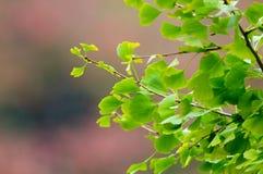De Bladeren van Ginkgo tegen de Achtergrond van de Herfst Stock Foto