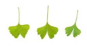 De bladeren van Ginko Stock Afbeeldingen