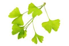 De bladeren van Ginko Royalty-vrije Stock Afbeeldingen