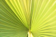 De bladeren van groene kokosnoot zijn in potten stock foto