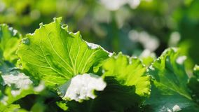 De bladeren van de groene sla op het gebied stock videobeelden