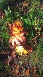 De bladeren van de herfst op groen gras De kleuren van de herfst De schoonheid van aard in Polen royalty-vrije stock fotografie