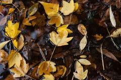 De bladeren van de herfst in vulklei van water Stock Fotografie