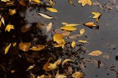 De bladeren van de herfst in vulklei van water Stock Foto's