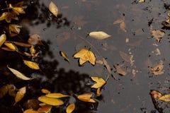 De bladeren van de herfst in vulklei van water Stock Foto