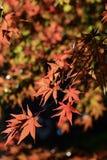 De bladeren van de herfst in zonlicht Stock Fotografie