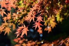 De bladeren van de herfst in zonlicht Royalty-vrije Stock Afbeeldingen