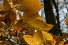 De bladeren van de de herfstbeuk, dicht-up2 royalty-vrije stock foto