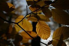 De bladeren van de de herfstbeuk, dicht-up4 royalty-vrije stock foto