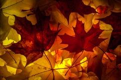De bladeren van de de herfstesdoorn Royalty-vrije Stock Afbeeldingen