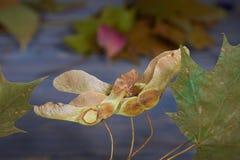 De bladeren van de de herfstesdoorn en zadenpeulen royalty-vrije stock afbeeldingen