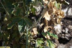 De bladeren van de de herfstesdoorn, geel en groen stock foto's