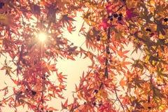 De bladeren van de de herfstesdoorn met zonnestraal, die omhoog in een bos in de herfst kijken royalty-vrije stock foto's