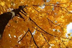 De bladeren van de de herfstesdoorn op de zonachtergrond Stock Foto