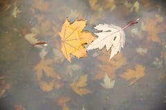 De bladeren van de de herfstesdoorn zoals yin en yang op het water royalty-vrije stock foto
