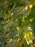 De bladeren van de de herfstwijnstok tegen zonsondergangachtergrond Stock Foto
