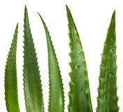 De bladeren van het aloë Stock Foto's