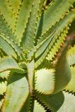 De bladeren van het aloë met oranje doornen Stock Foto