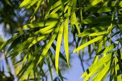 De Bladeren van het bamboe Royalty-vrije Stock Foto's