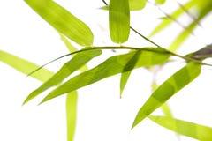 De bladeren van het bamboe op dunne takken Royalty-vrije Stock Foto