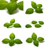 De bladeren van het basilicum Royalty-vrije Stock Fotografie