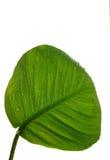 De bladeren van het blad Stock Afbeelding