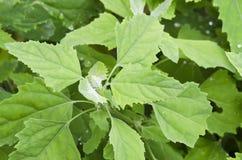 De bladeren van het chenopodiumalbum Royalty-vrije Stock Foto