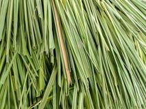 De bladeren van het citroengras Stock Fotografie