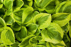 De bladeren van Hosta Royalty-vrije Stock Foto
