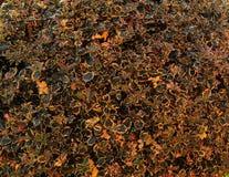 De bladeren van hulst planten op de herfstseizoen stock fotografie
