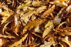 De bladeren van de kastanjeboom royalty-vrije stock afbeelding