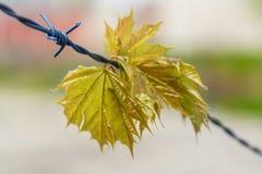 De bladeren van de de lenteesdoorn op prikkeldraad stock fotografie