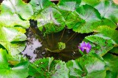 De bladeren van Lotus Royalty-vrije Stock Afbeeldingen