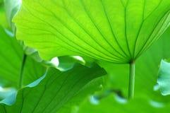 De bladeren van Lotus Stock Afbeelding