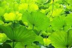 De bladeren van Lotus in de zonneschijn Royalty-vrije Stock Foto's