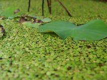 De bladeren van de lotusbloem worden omringd door groene Duckweeds Voor aardachtergrond stock afbeeldingen