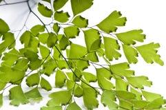De bladeren van Maidenhair Royalty-vrije Stock Foto's