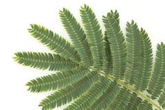 De Bladeren van mimosa's Royalty-vrije Stock Afbeelding