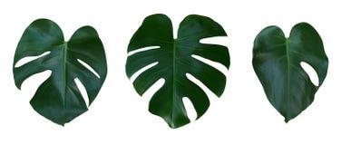 De bladeren van de Monsterainstallatie, de tropische altijdgroene wijnstok die op witte achtergrond, weg wordt geïsoleerd stock foto